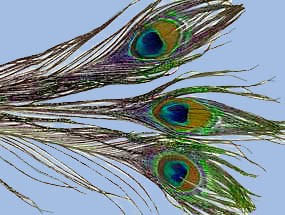 turrall peacock